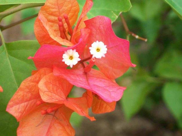 2 (dua) kuntum bunga baougainville 'lagi' :D