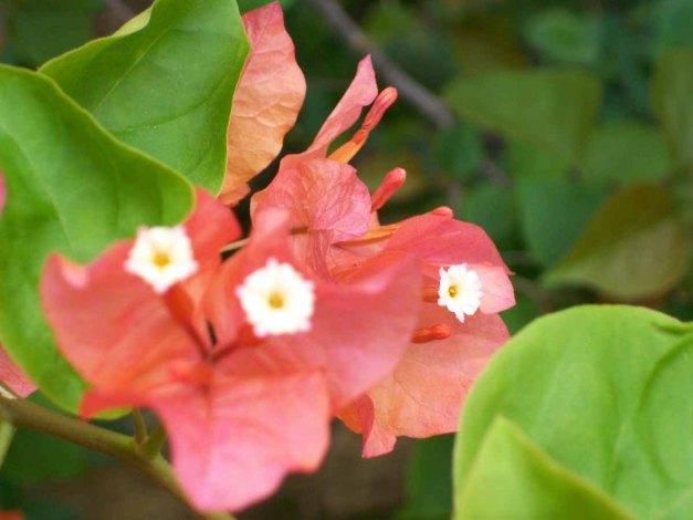 3 (tiga) kuntum bunga bougainville sedang mekar diantara daun-daun muda.