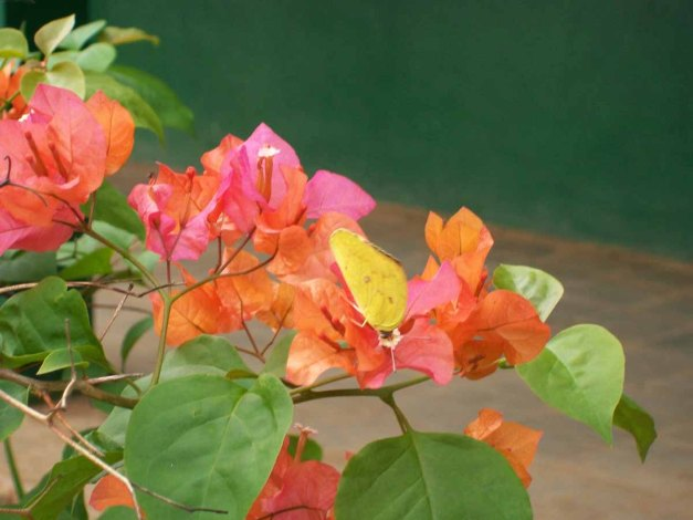 Kupu-kupu kuning (pohon jati) sedang menghisap nektar.