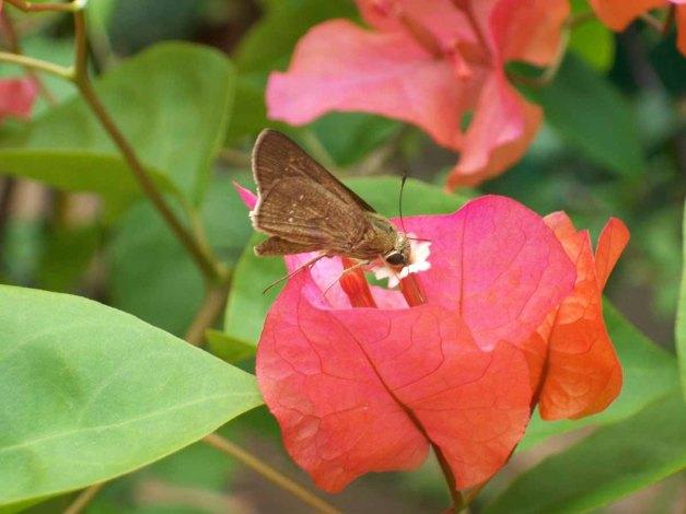 Seekor kupu-kupu cokelat sedang menghisap nektar bungan bougainville.