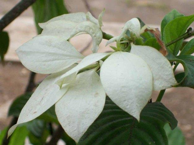 Bunga putih yang saya tidak tahu namanya :D