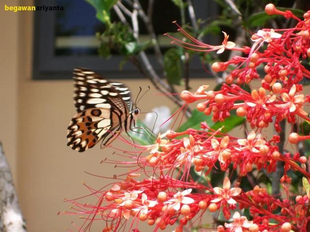 butterfly kiss 1