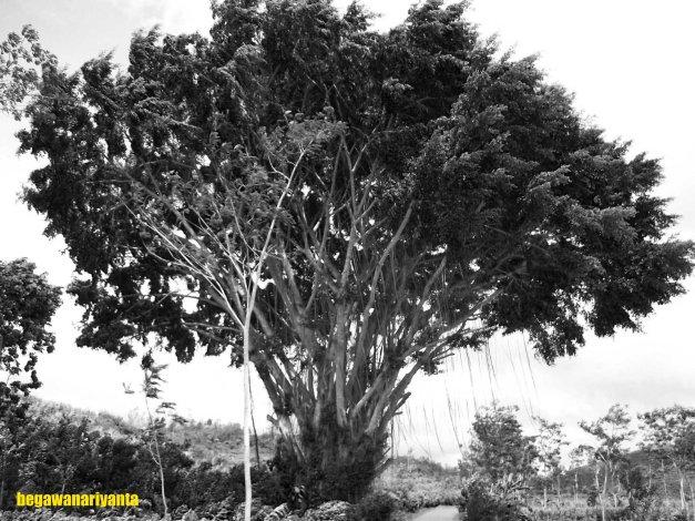 The Old Banyan Tree. Location: Semanu, Gunungkidul, Yogyakarta, Indonesia.